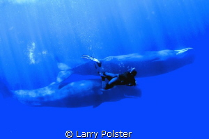 Swimming with the Sperm Whales of Dominica. Free dive, no... by Larry Polster 